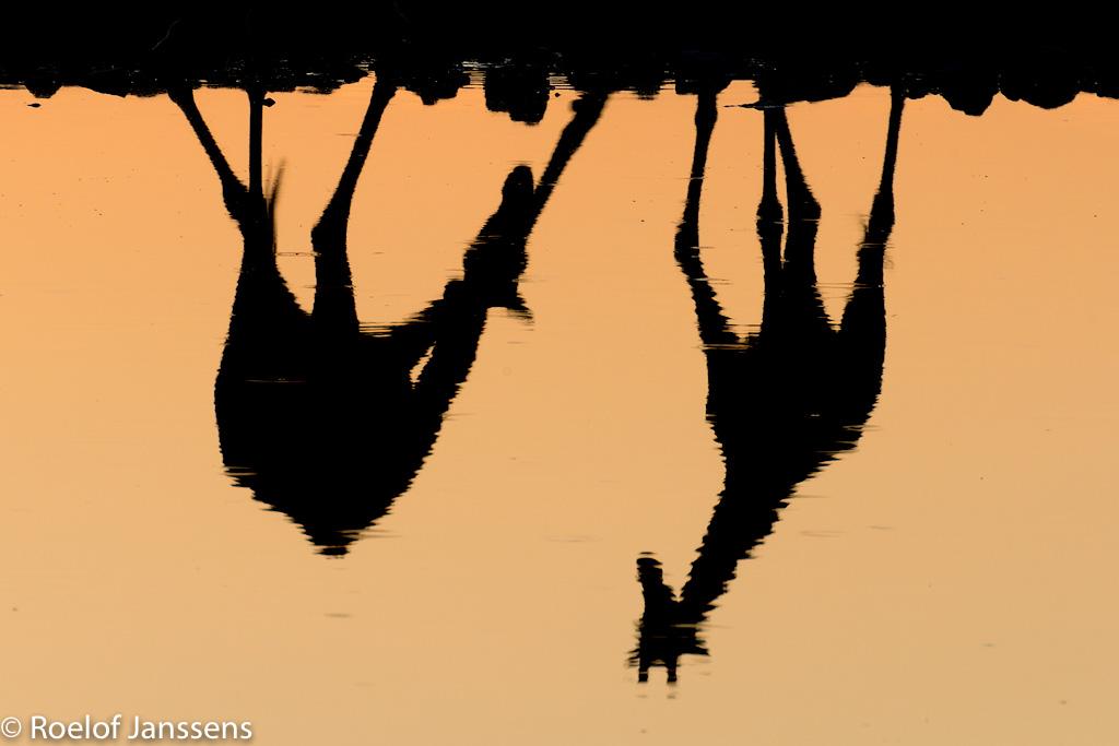 Angolese giraffes weerspiegeld in het water van de drinkplaats bij Okaukuejo.