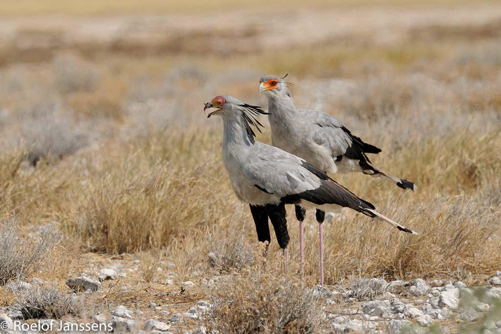 Secretarisvogels in de omgeving van Halali.