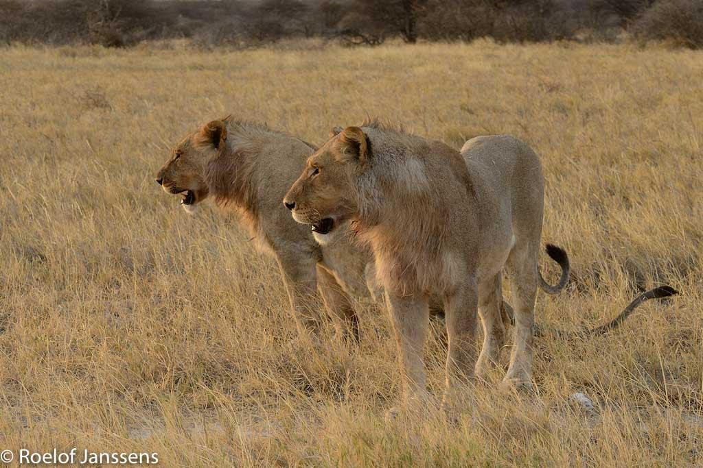 Leeuwen in de omgeving van Namutoni.