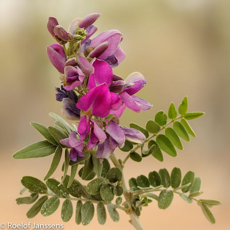 Violette woestijnboon in de omgeving van Namutoni.