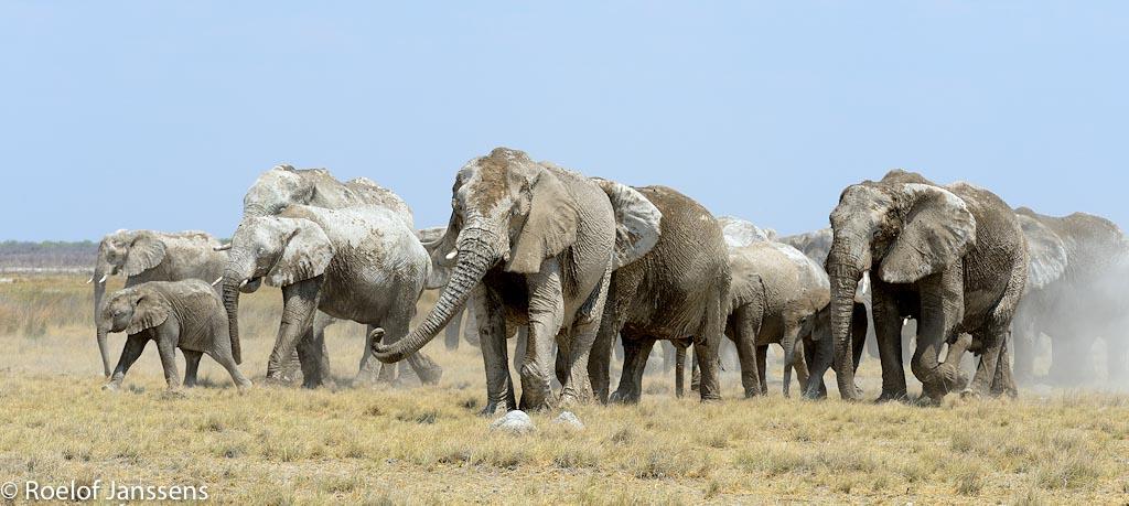 Afrikaans olifanten in de omgeving van Namutoni.