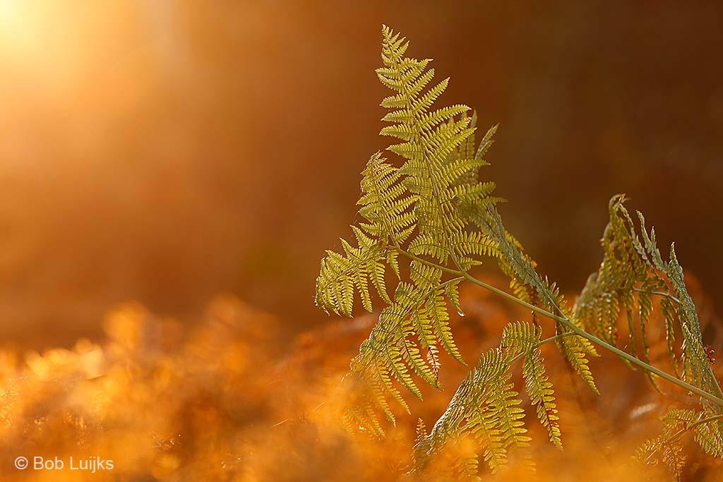 Een laatste groene blad van de adelaarsvaren steekt boven het dorre blad uit.