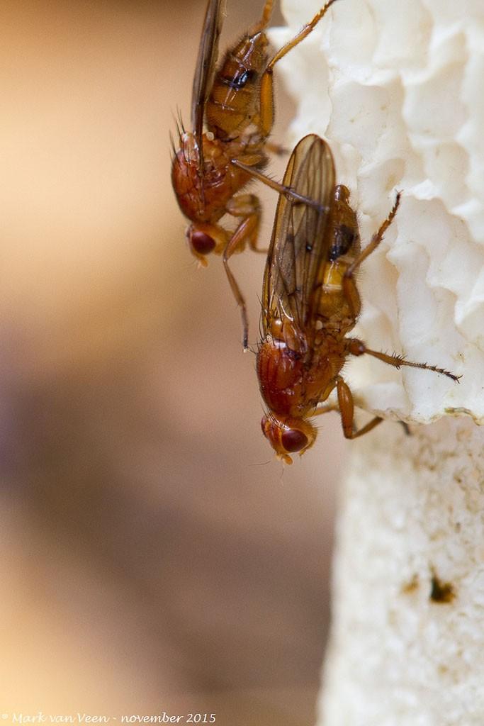 Boomvliegen op een stinkzwam in de late herfst.