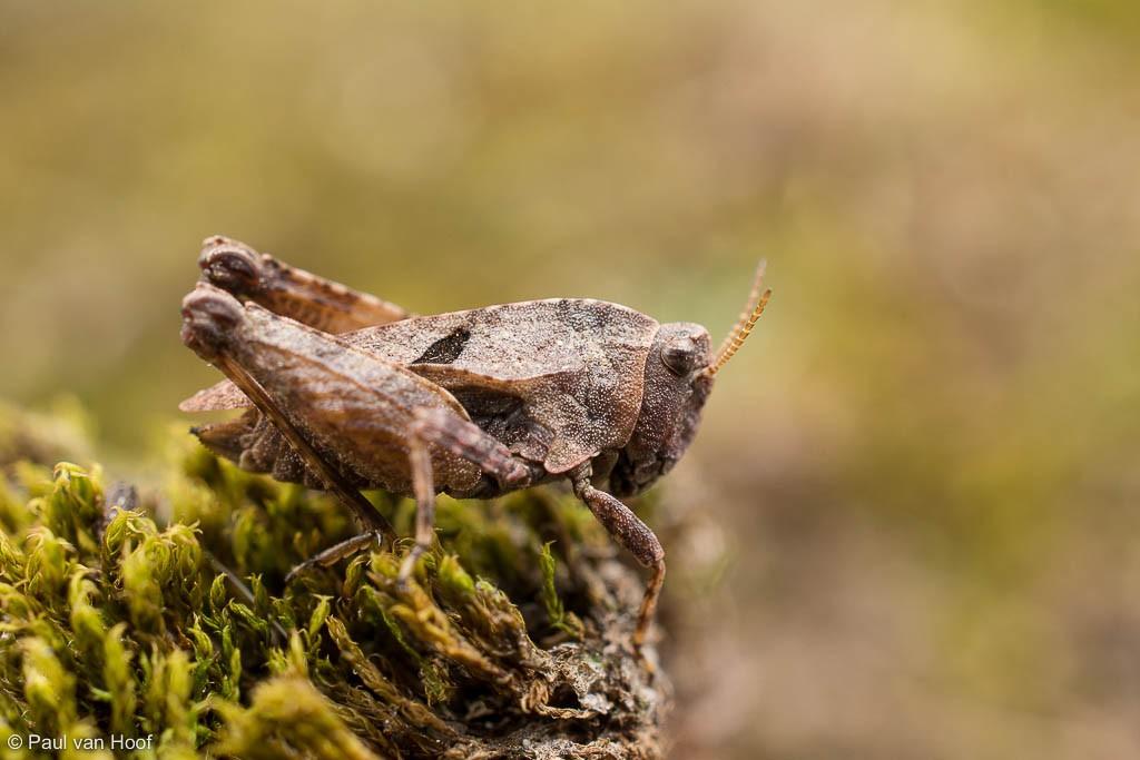 Het bosdoorntje heeft vaak twee zwarte vlekken op het halsschild.