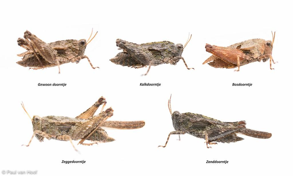 Vergelijking van de vijf soorten.