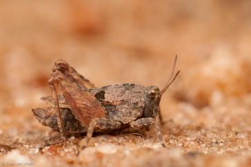 Kalkdoorntje; Long-horned groundhopper; Tetrix tenuicornis