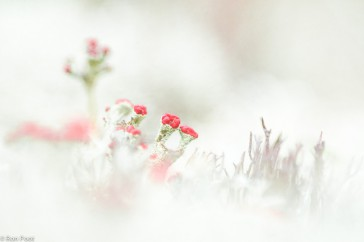 Cladonia coccifera; Cup Lichen; Rood bekermos
