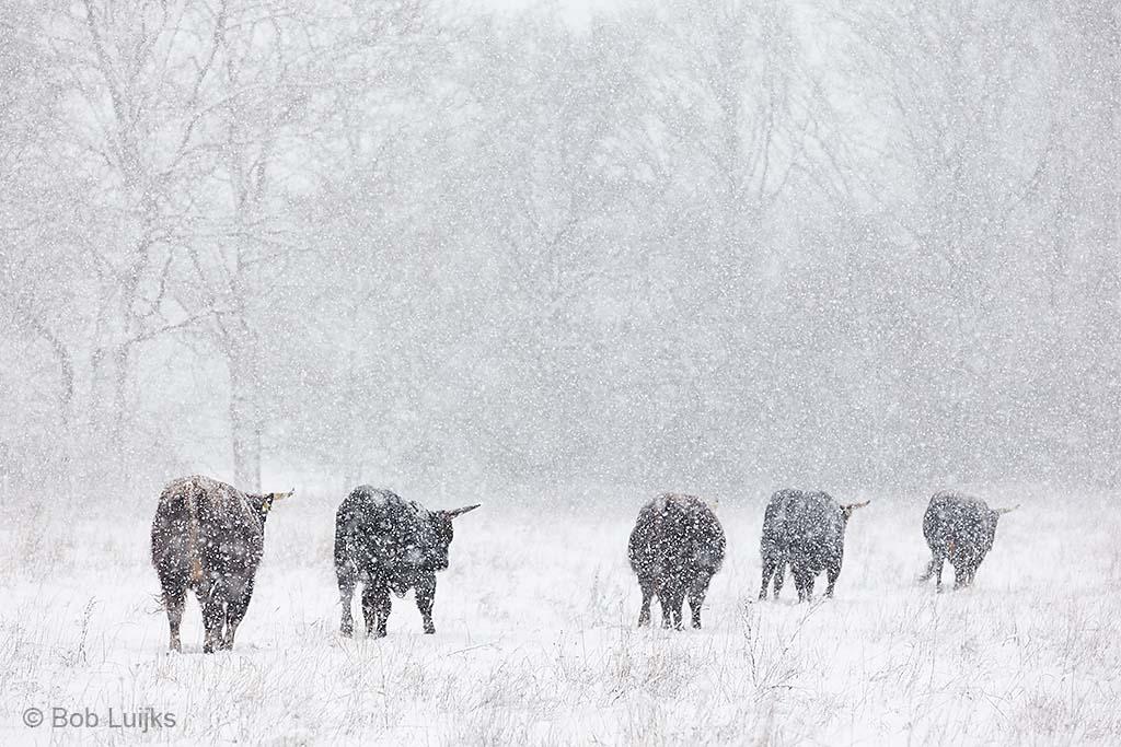 Oerrunderen in de sneeuw gaan gewoon hun eigen weg.