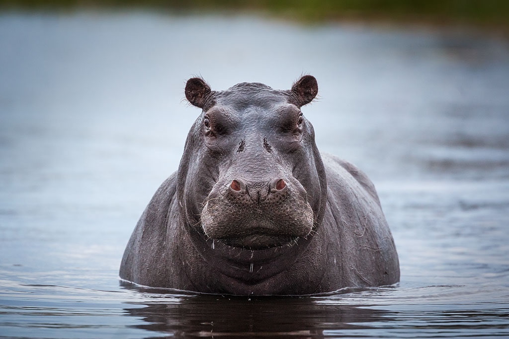 Nijlpaard Botswana