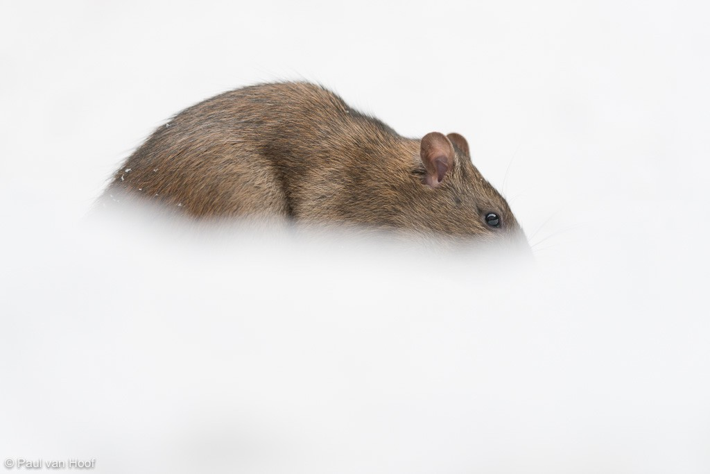 Bruine rat foerageert in de sneeuw onder een voedersilo voor vogels.