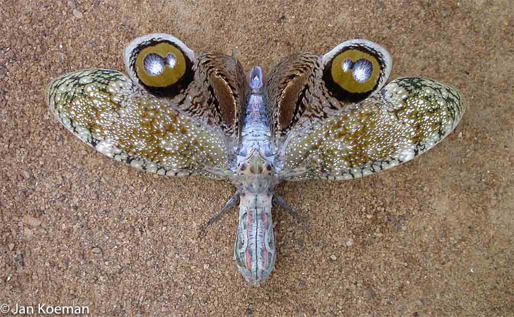 De lantaarndrager ziet er uit als een vlinder, maar het is een cicade!  Waar zit zijn kop?  Over dit insect doet een ´indianenverhaal´ de ronde. Wanneer iemand gebeten is, moet hij/zij binnen 24 uur seks hebben anders zal hij/zij sterven. Maar maak je geen zorgen, de lantaarndrager kan helemaal niet bijten of prikken!