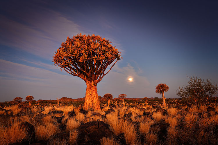 Kokerboom; Quiver Tree; Aloe dichotoma