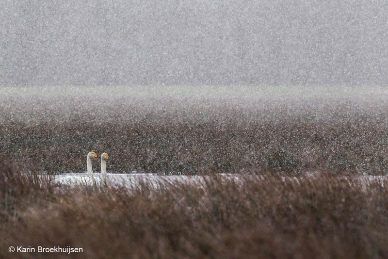 Zwanen in een sneeuwbui