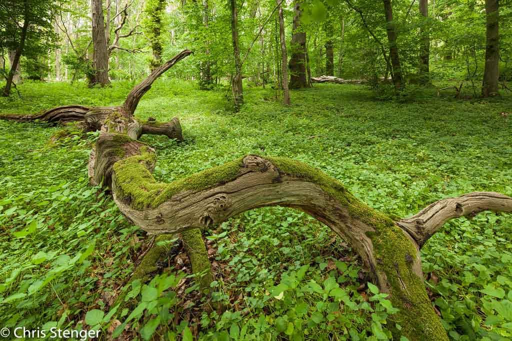 Oerbos Zuid Zweden. De dode boom in de voorgrond diende groot in beeld te komen zonder dat de bomen in de achtergrond schuin zouden weglopen. Ook weer een standaardsituatie waarvoor een TS objectief uitermate geschikt is.