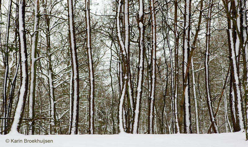 Besneeuwde-bomen