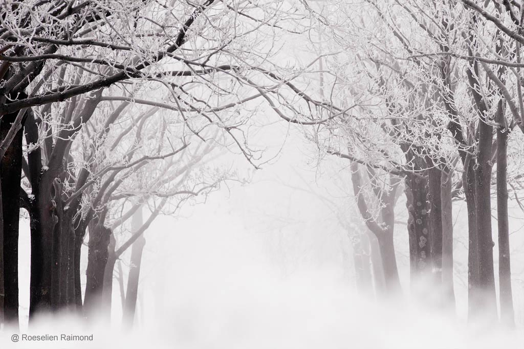 Berijpte bomen in de mist (ruige rijp)