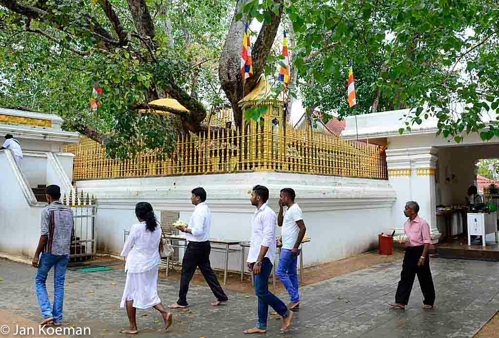 Ficus religiosa in Sri Lanka
