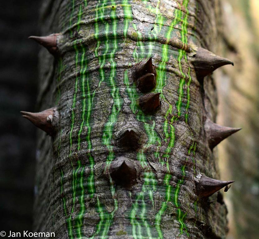 Jonge kapokboom