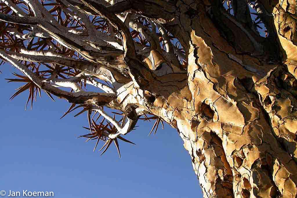 Kokerboom in Namibie