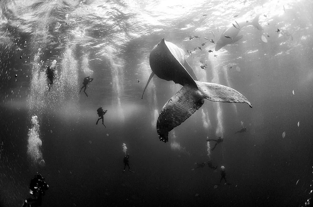 Duikers observeren een walvis met kalf.