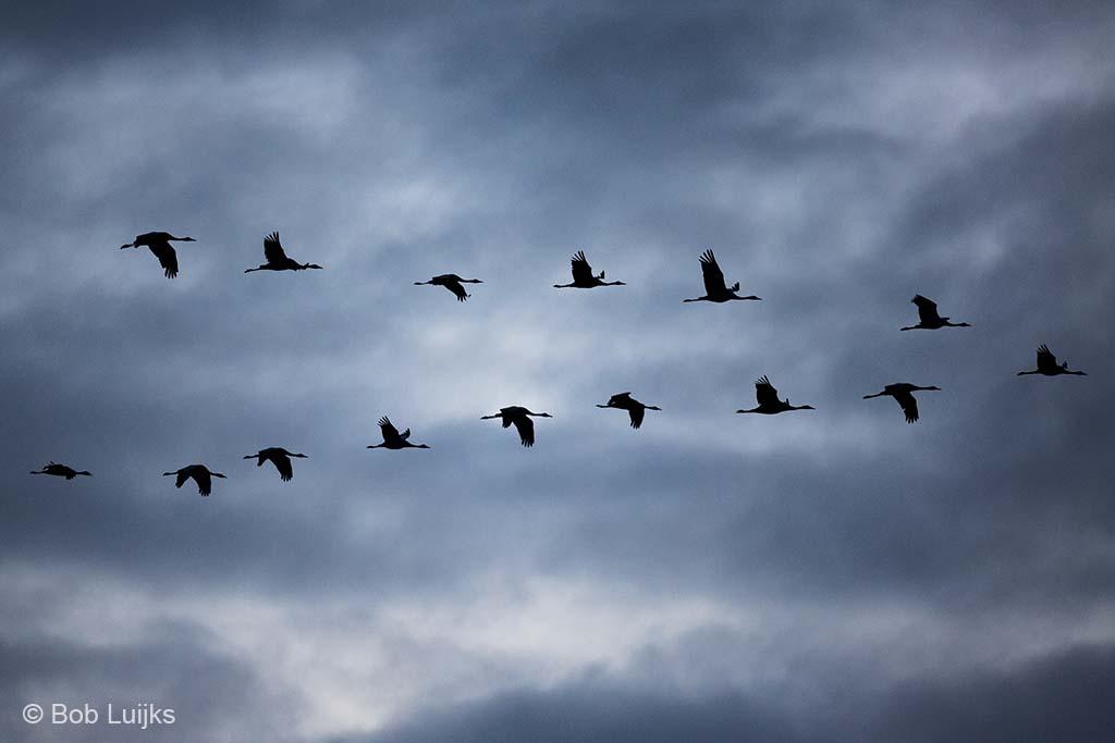 Formatie van kraanvogels.