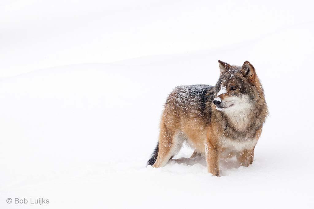 Wolf in de sneeuw.