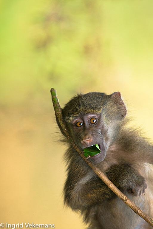 Mimicry - Communicatie met een jonge baviaan.