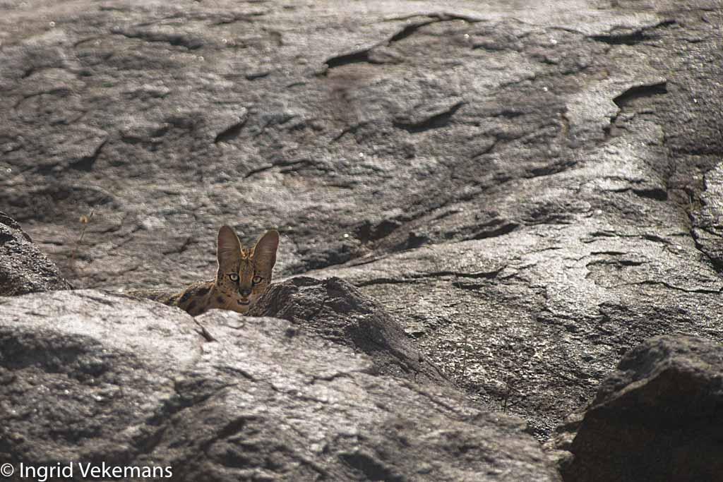 Serval - Oogcontact met een serval