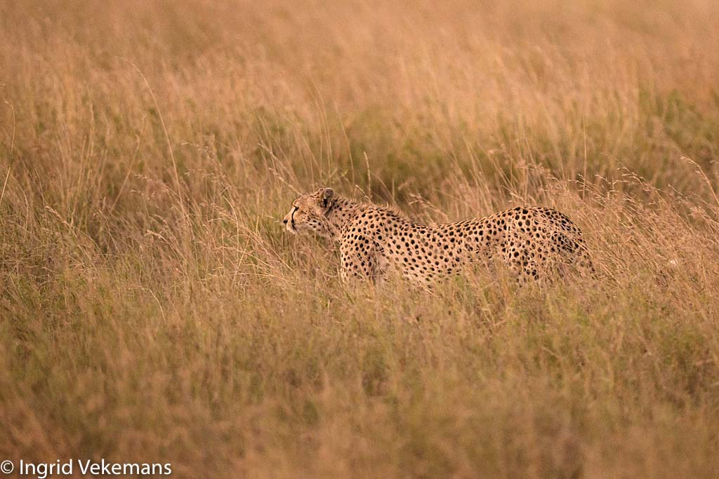 Serengeti Hunter - Cheetah op jacht