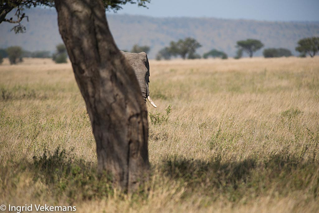 Giant of the Serengeti - Olifant op de savanne