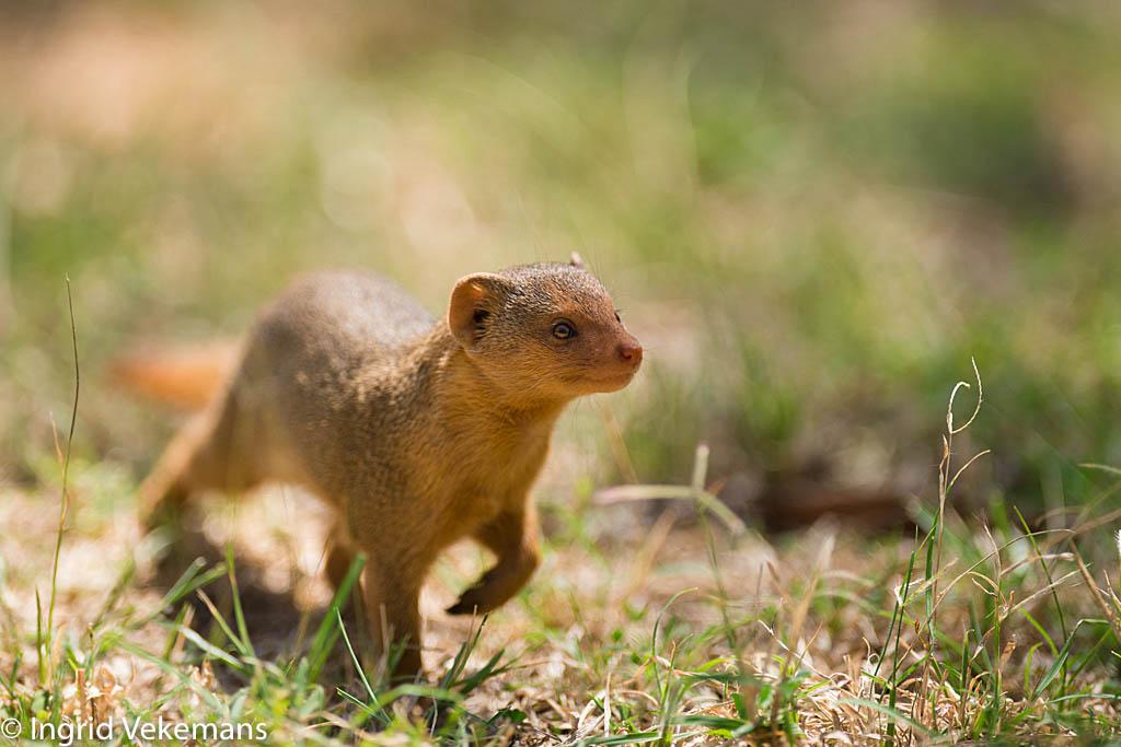 Mongoose - Dwergmangoeste