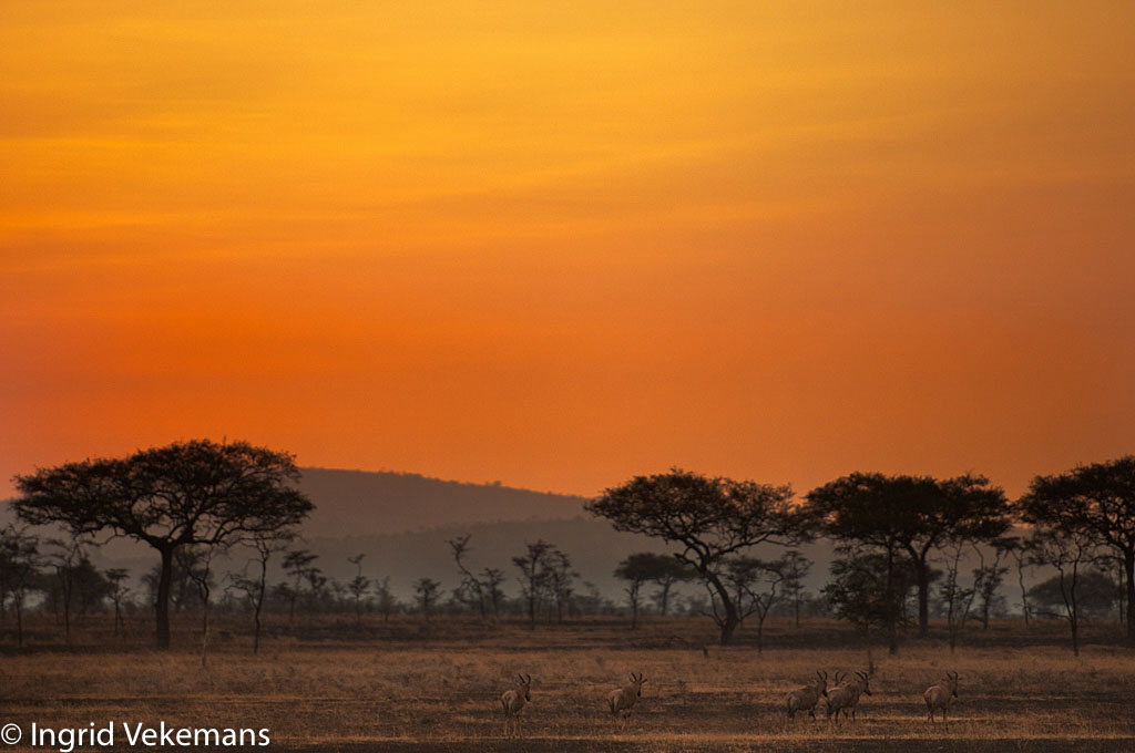Topi Sunrise - Zonsopgang in de Serengeti