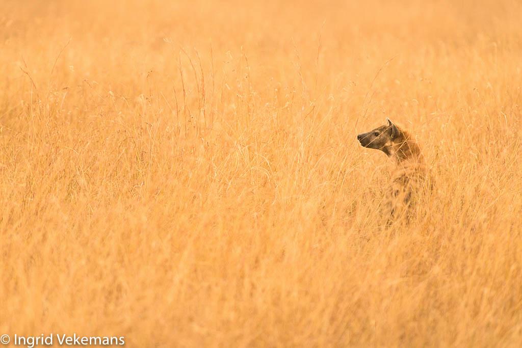 Fisi Gold - hyena bij zonsondergang in Serengeti