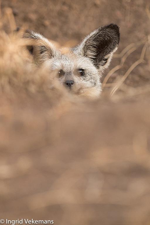 Who? Me? - grootoorvos in hol in Serengeti