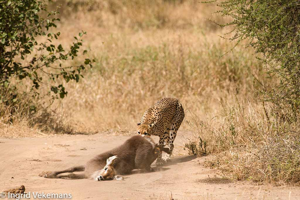 Leaving Earth - cheetah met verse prooi van waterbok in Tarangire