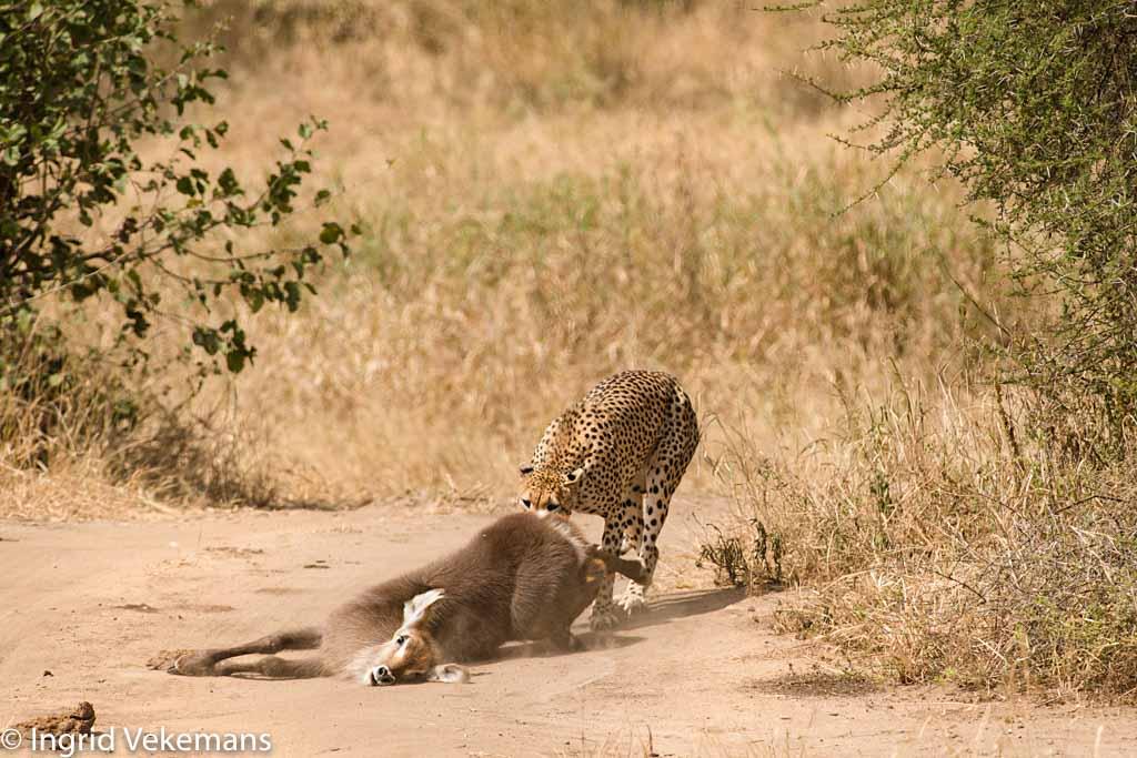 Leaving Earth - cheetah met verse prooi van waterbok in Tarangire