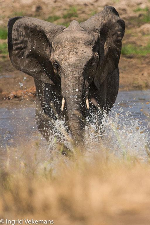 Splash - dreigende olifant in Tarangire