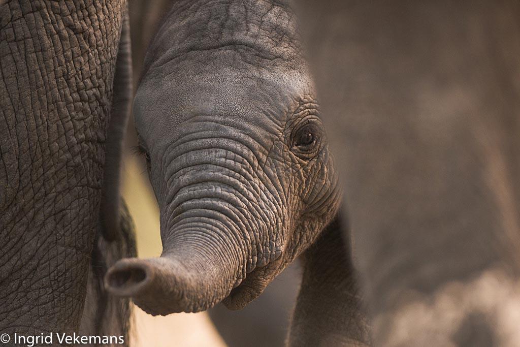 Hullo! - baby-olifant tussen moeders poten in Tarangire