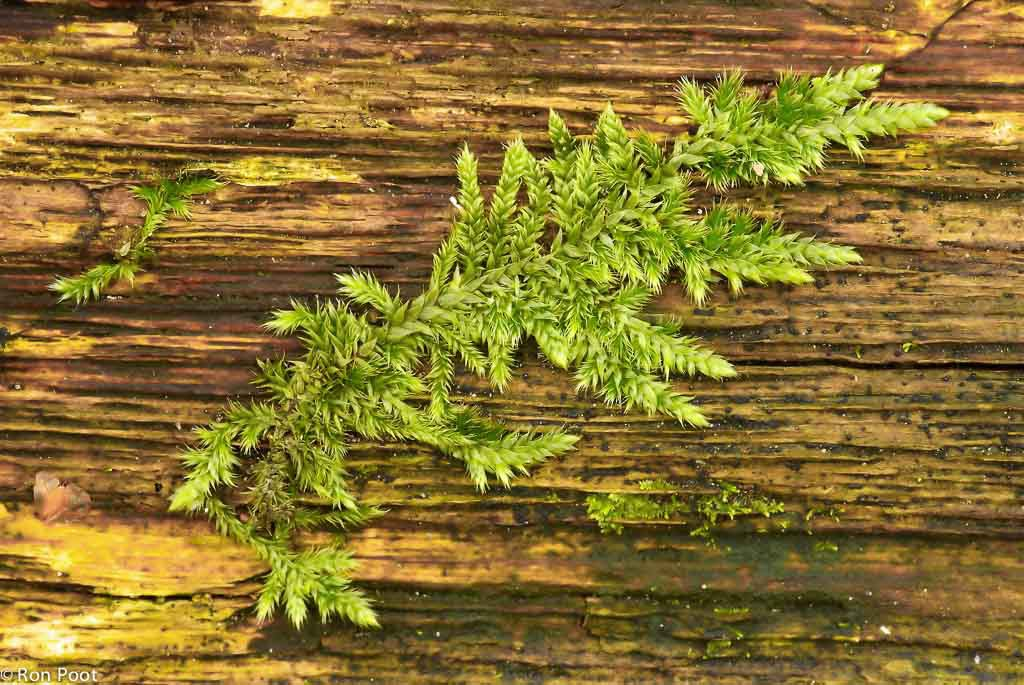 Ook zonder kapsels is mos mooi. Een jong mos-takje op dood hout laat de prachtige groeivorm zien.