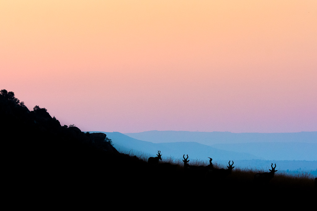 Hartebeesten Zuid-Afrika