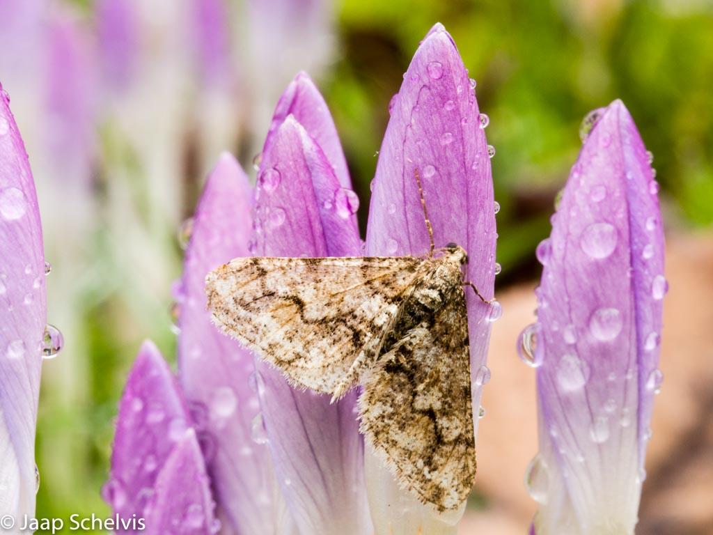 Kleine Voorjaarsspanner, Spring Usher, Agriopis leucophaearia