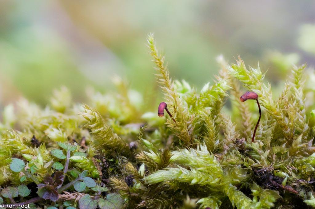 Miniatuur op de tuinmuur. Mossenlandschap met dikkopmos. Stack van meerdere foto's.