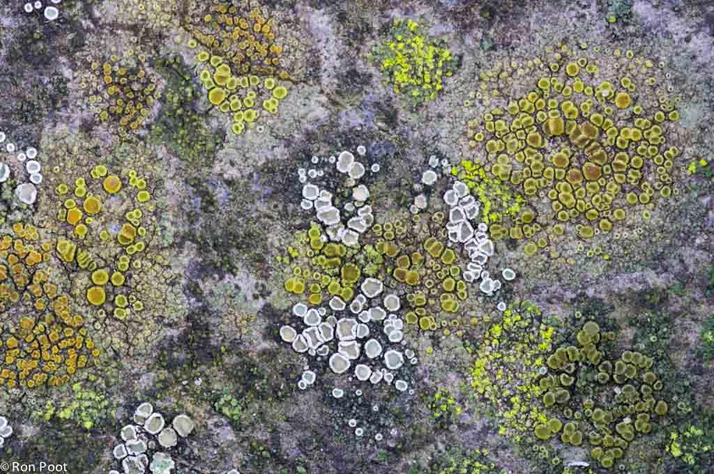 Miniatuur landschap van korstmossen op slechts één enkele betonklinker in mijn tuin.