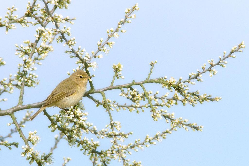 De eerste bloesems vormen een mooi decor voor de eerste zomervogels.
