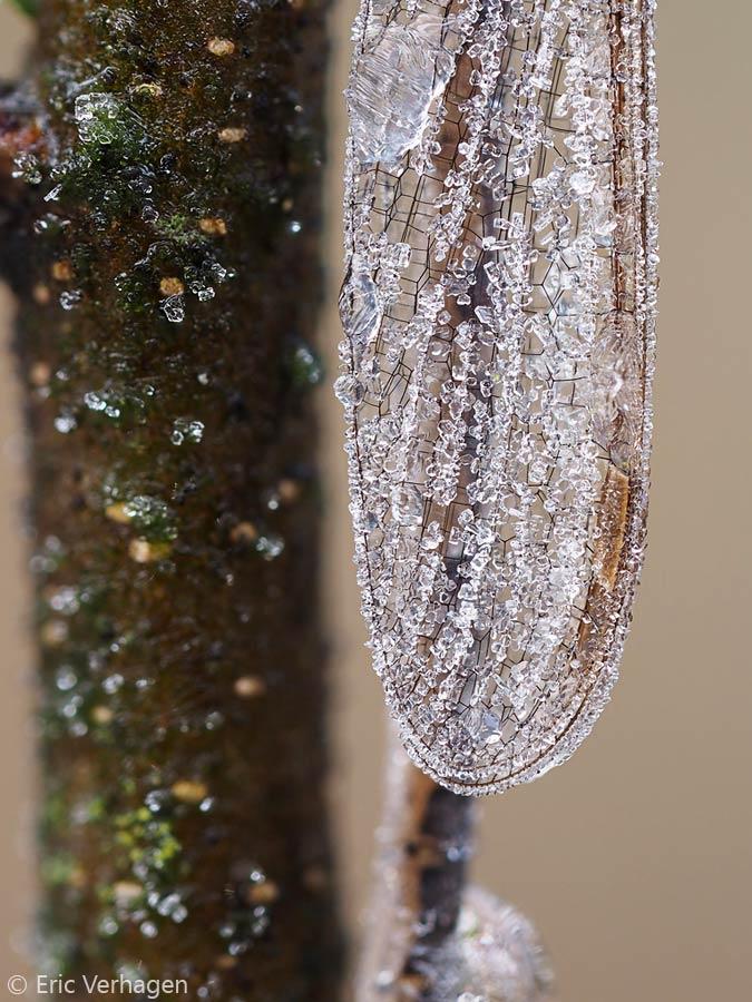 Door middel van focus stacking worden de ijskristallen op deze bruine Winterjuffer extra goed zichtbaar.