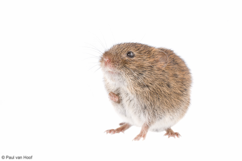 Field vole Microtus agrestis