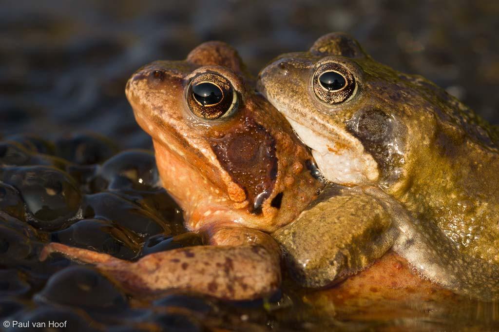 Portret van paartje bruine kikkers.