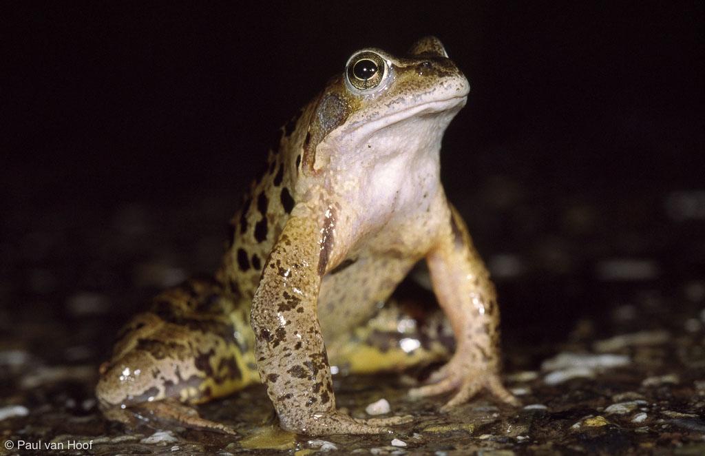 Mannetje bruine kikker tijdens de trek, met een grijze keel. Hij zit op de uitkijk naar vrouwtjes.