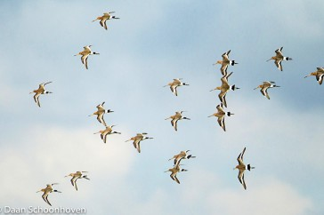 Grutto - Black-tailed Godwit - Limosa limosa