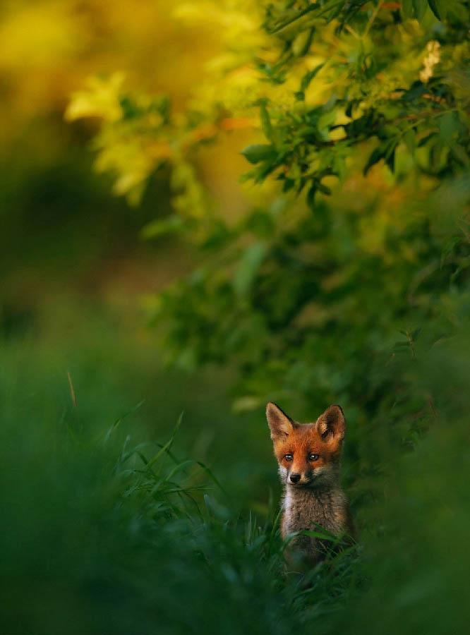 Vlakbij drukbezochte paden vond Hermann Hirsch een vossenburcht waar hij dit jonge vosje met prachtig licht voor zijn lens kreeg.